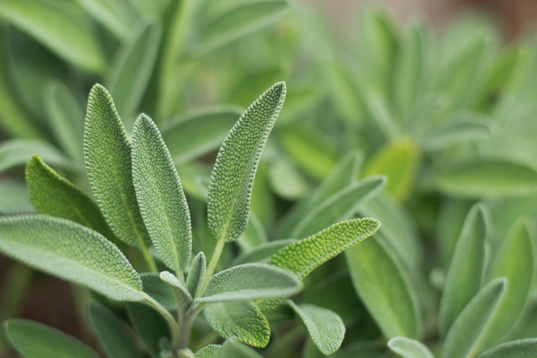 Шалфей (Salvia officinalis)